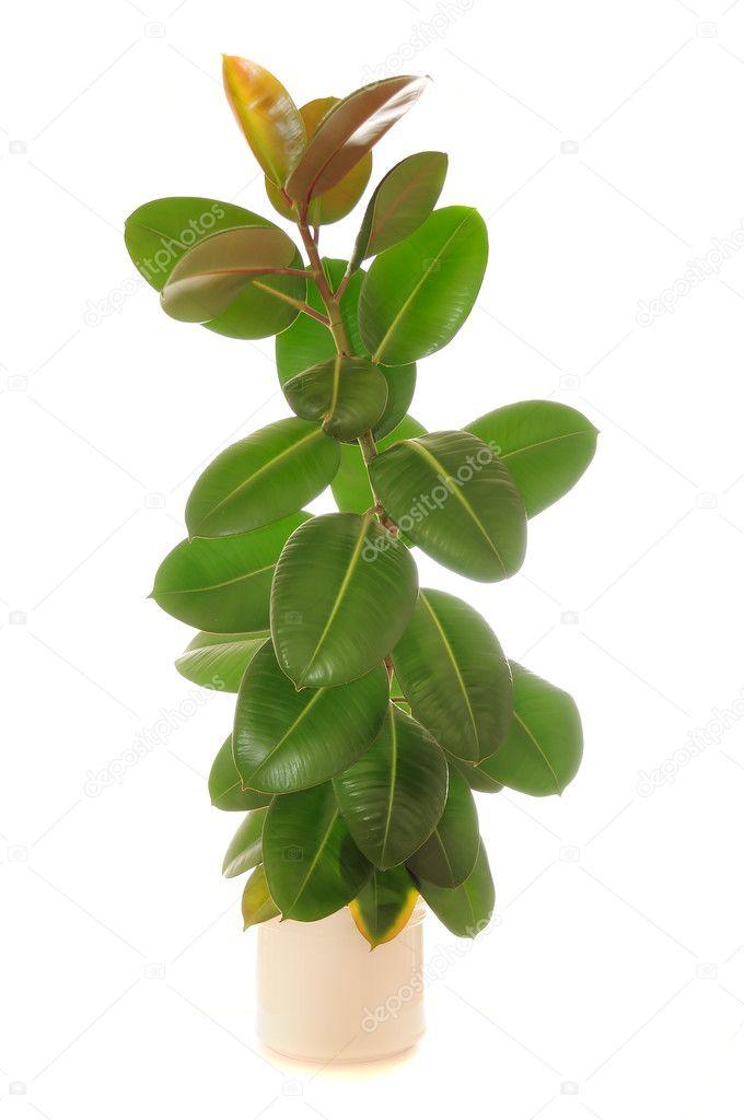 Ficus Elastica Rubber Plant In Pot Stock Photo C Digifuture 3708499