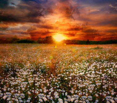 Landscape with daisies on sunset