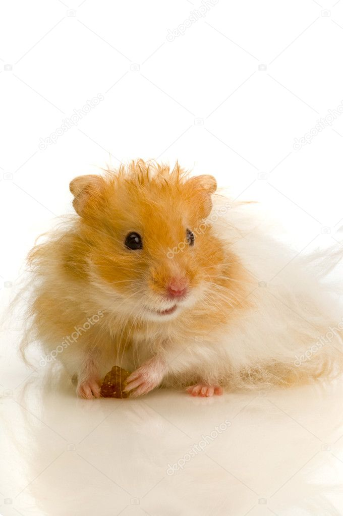 Syrian hamster — Stock Photo © nanka-photo #4285990