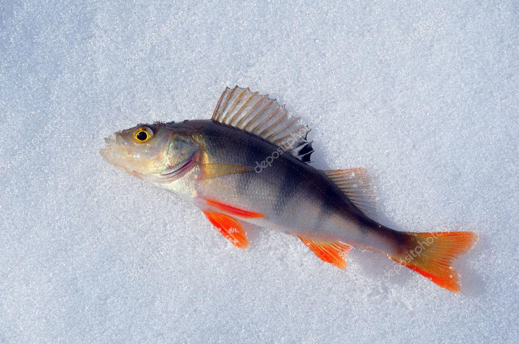 Winter fishing - caught fish on ice