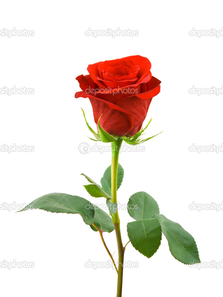 Beautiful Red And White Roses Pics Stock Photos All Sites