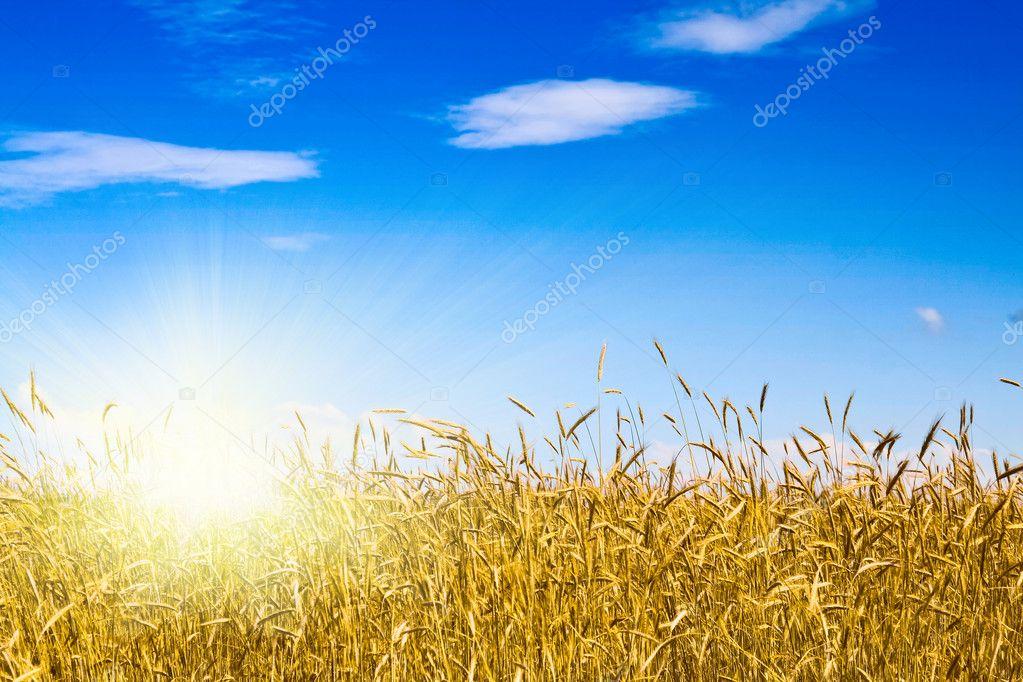 Cornfield in a sunny day