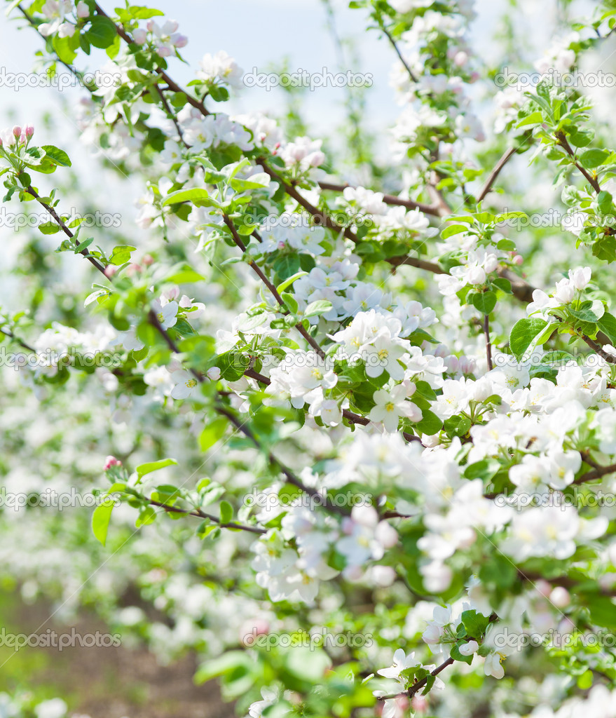 The flowers of apple tree
