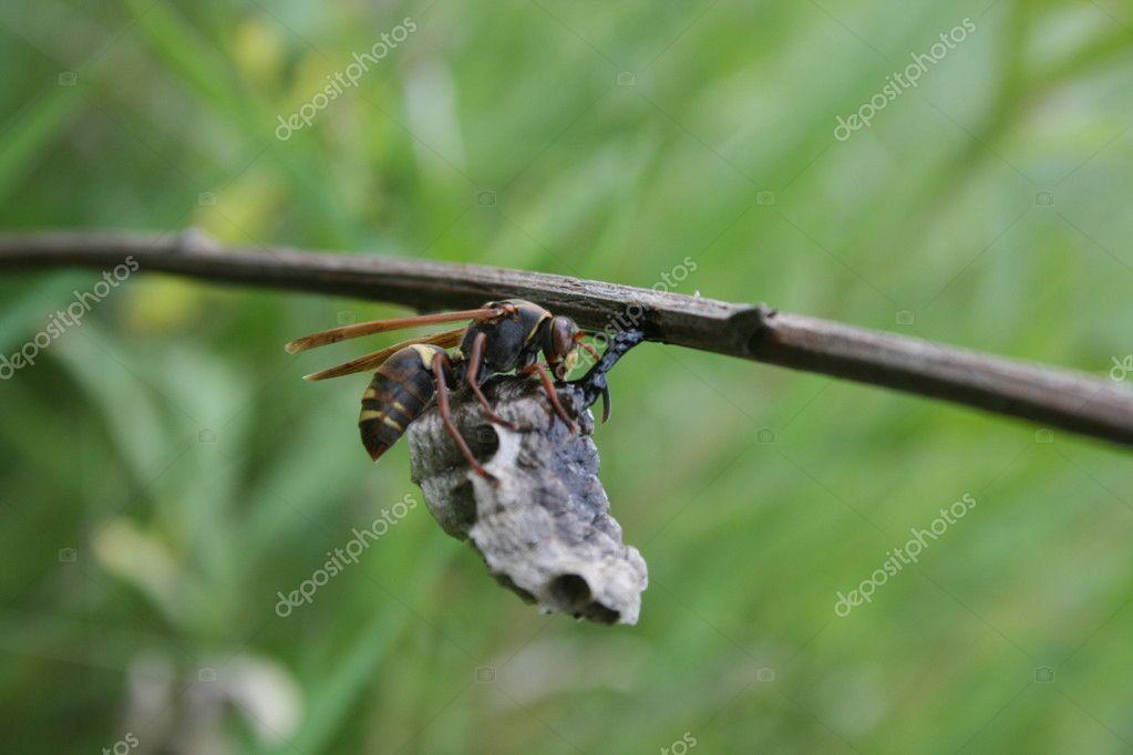 Eumenidae wasp