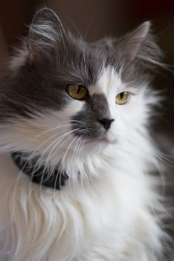 White and gray domestic turkish cat