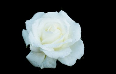 White rose with dewdrops