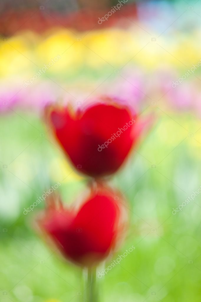 Red tulips, abstraction