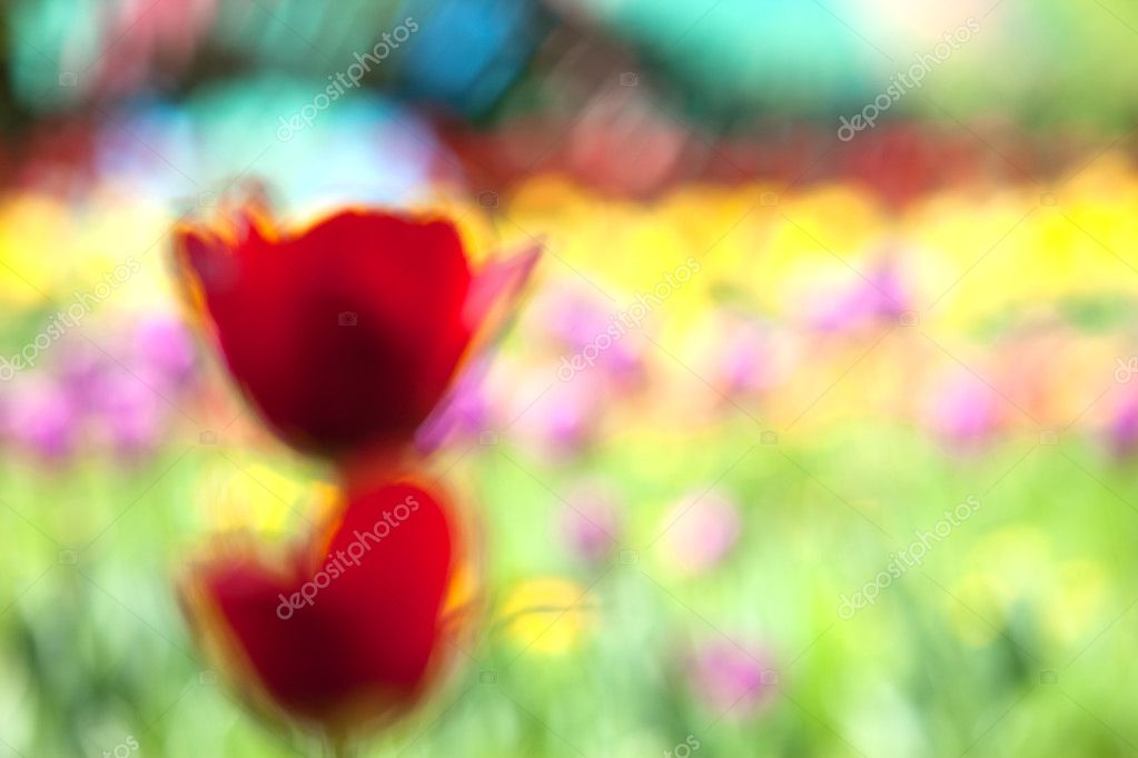 Red tulip, abstraction