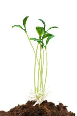 Green seedlings