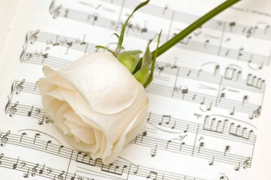 White rose on the musical notes