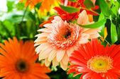 Fotografie Gerbera květiny agaisnt zelené