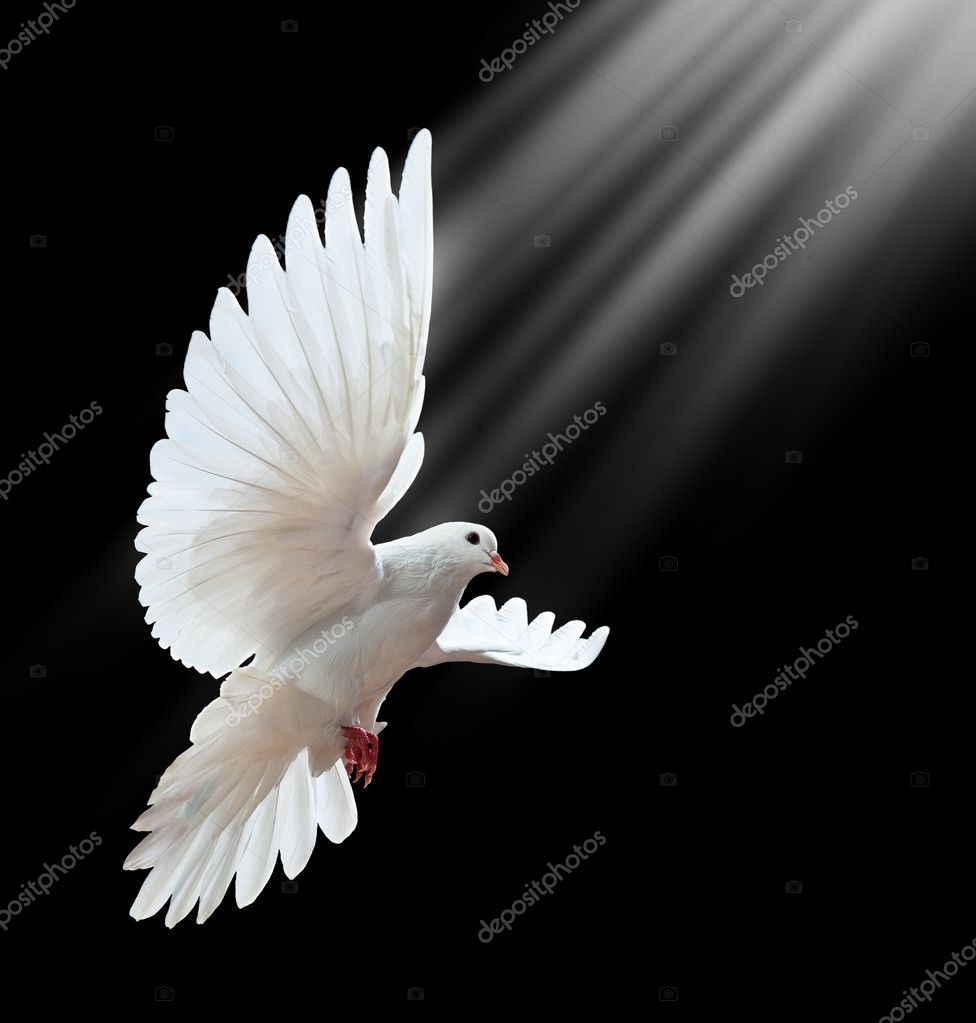 A free flying white dove isolated on a black background stock vector
