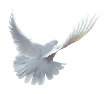 A free flying white dove isolated on a white background stock vector