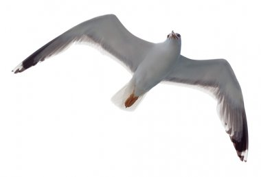 Flying One seagull isolated