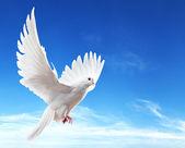 Fotografie holubice ve vzduchu s křídly dokořán