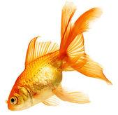 Photo Gold fish isolated on white