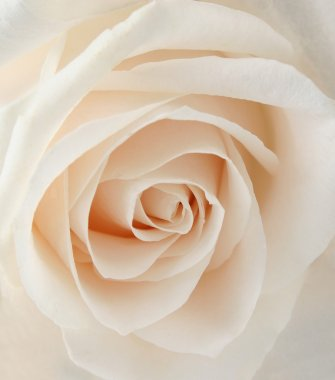 White rose closeup