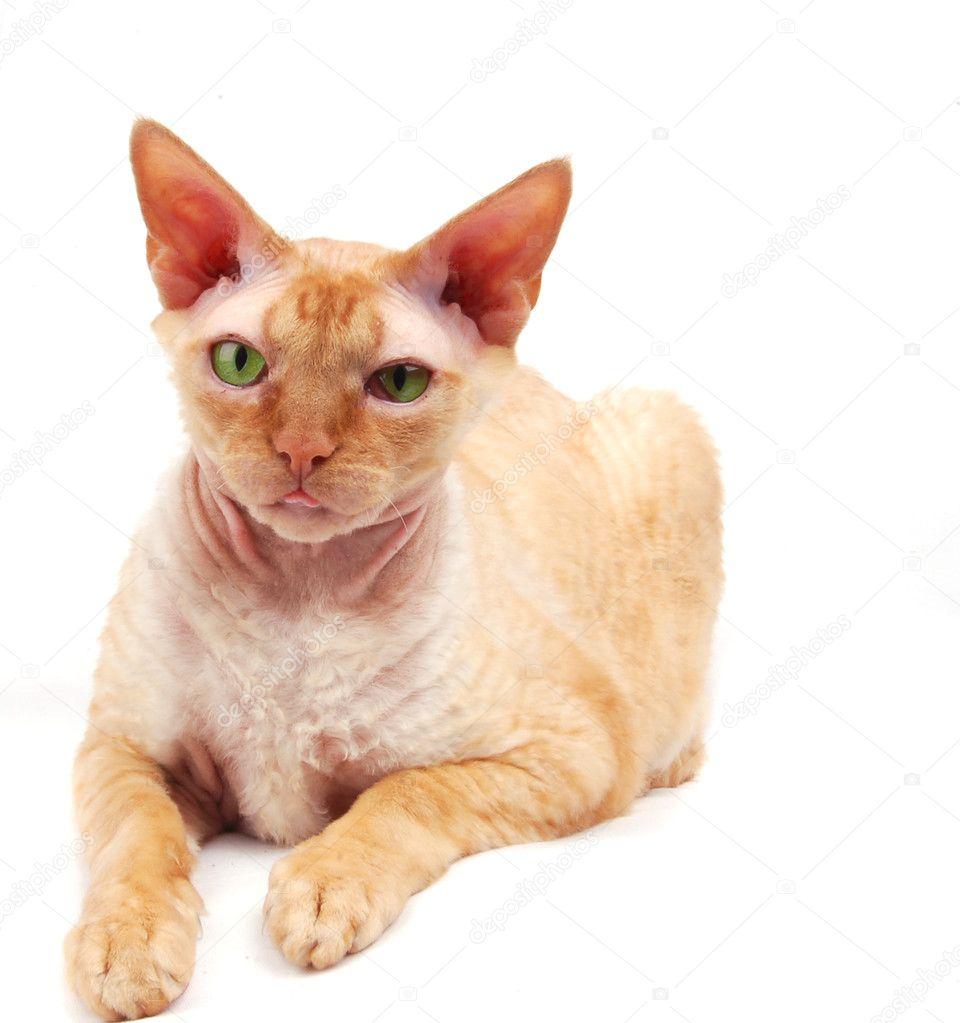 Рыжий кот и сфинксы