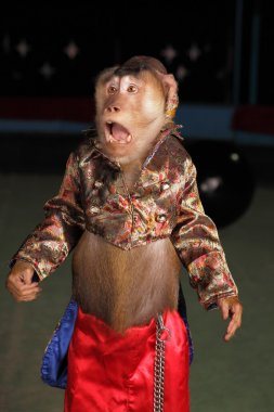 Circus chimpanzee monkey in a suit and a hat.