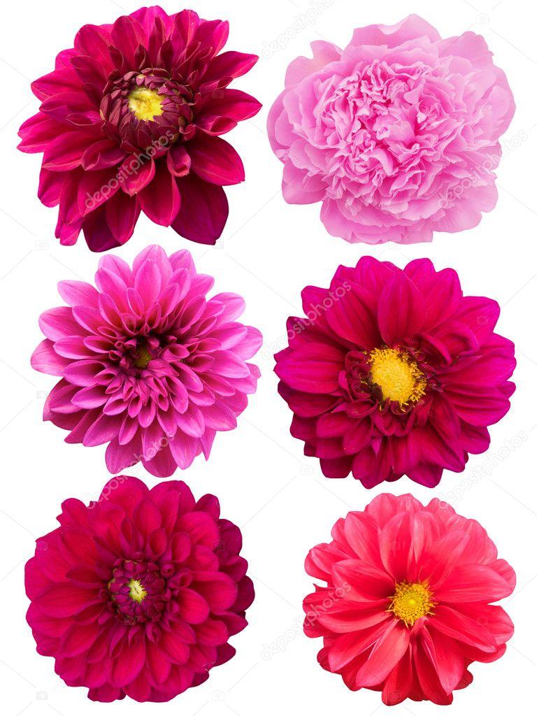 Flowers peonies dahlias