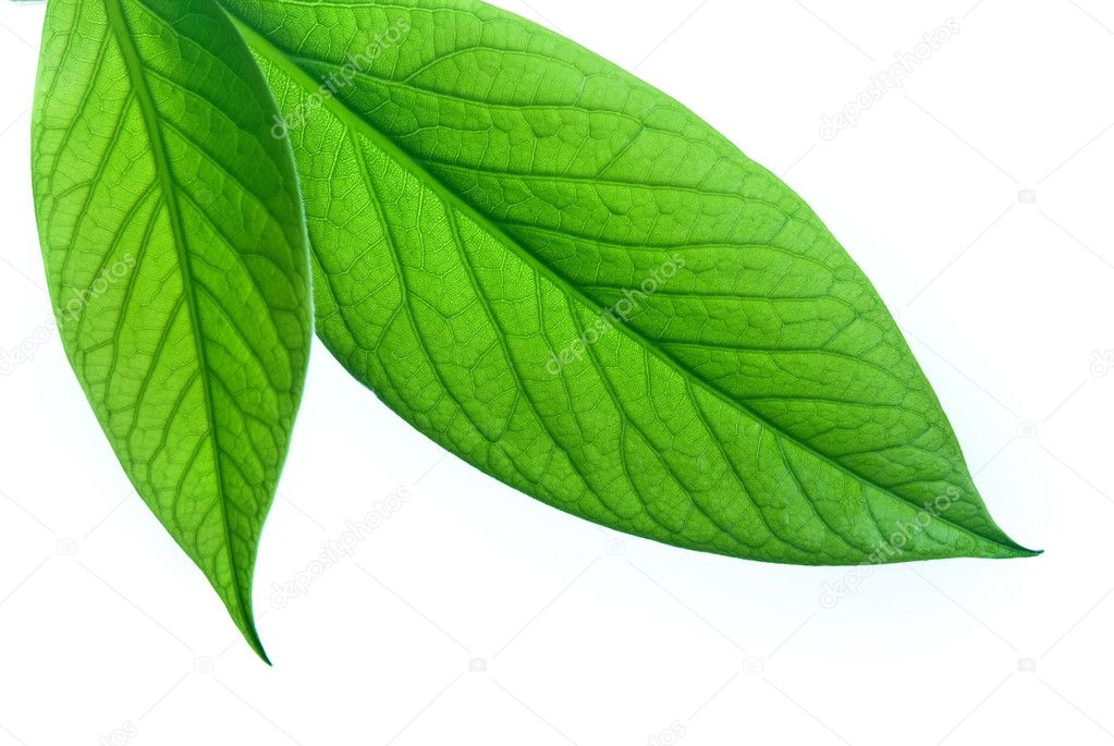 Green leafs on a white background