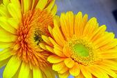 Včela na bílém sedmikráska květ