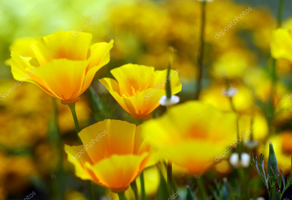 Yellow california poppy flower