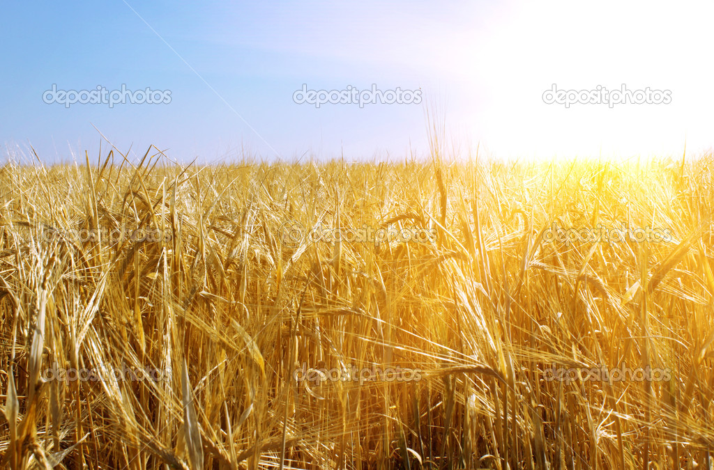 Фотообои Gold wheat and sunny sky