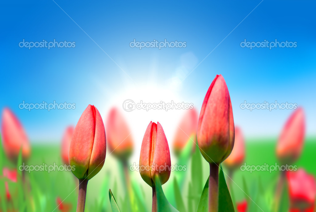 Young red tulips against the blue sky