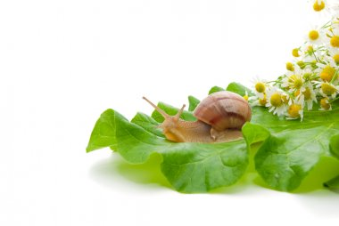 Snail creeping on leaf