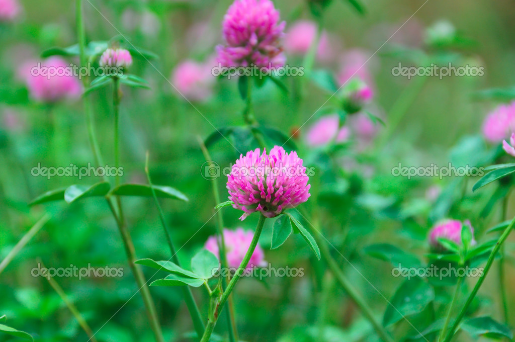 Pink flowers with green clover leaves stock photo yellek 3526418 pink flowers with green clover leaves stock photo mightylinksfo