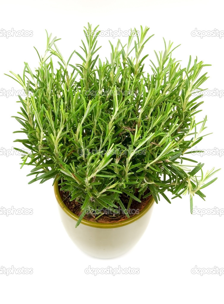 Rosemary plant and pot