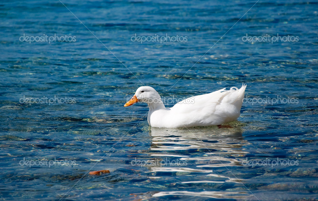 White duck floating on the blue sea