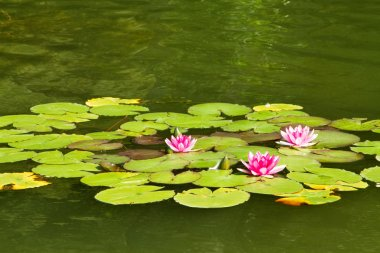 Swamp lily and green leaves