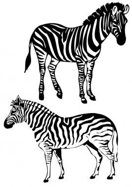 Zebra, vector