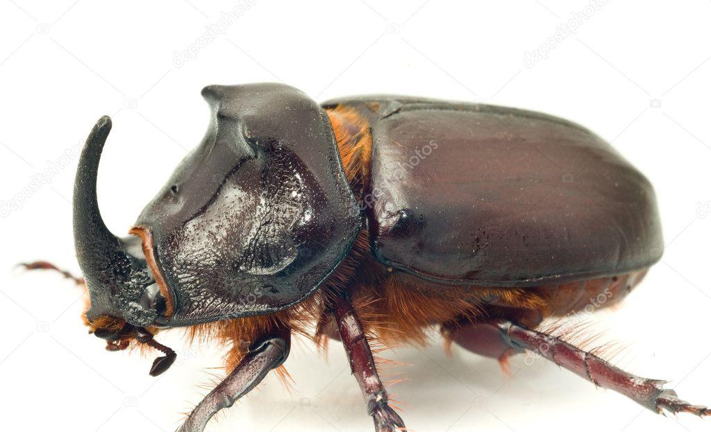 Side Macro view of rhinoceros or unicorn beetle