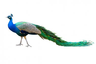 Peacock isolated on white.