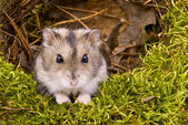 Photo Little dwarf hamster