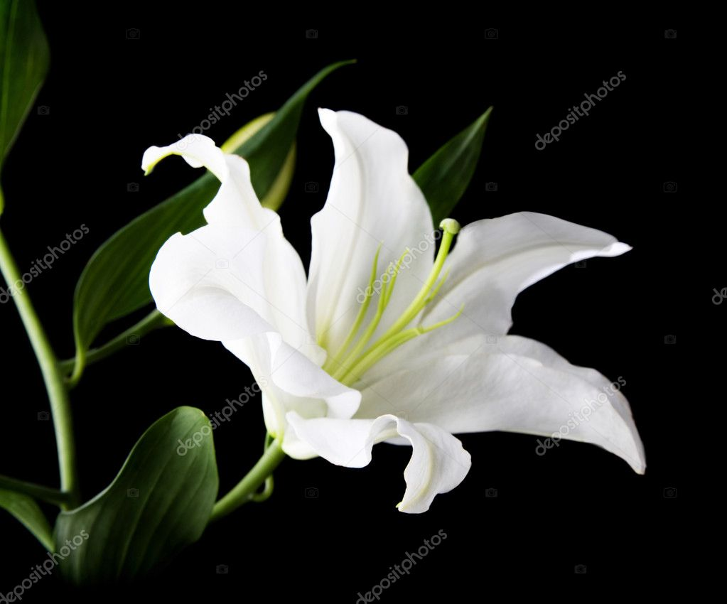 A white lily on the black background