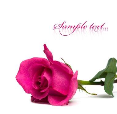 Purple rose isolated on white