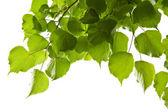 Nyírfa levelek elszigetelt