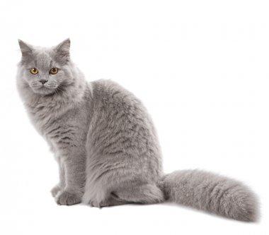 Cute british cat isolated