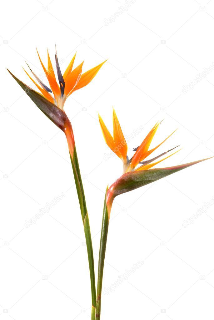 Fleur Oiseau Du Paradis Strelitzia Reginae Isolee Sur Blanc B