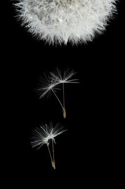 Flying seeds of blossoming dandelion