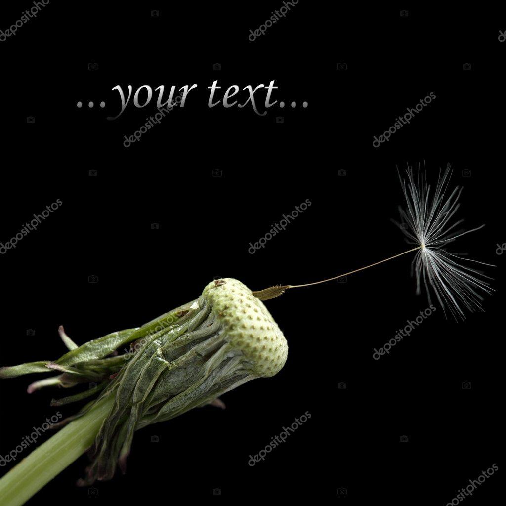 One seed on dandelion