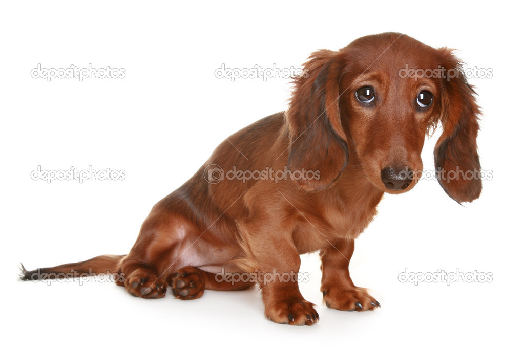 long haired dachshund dog stock photo vitcom 2961480