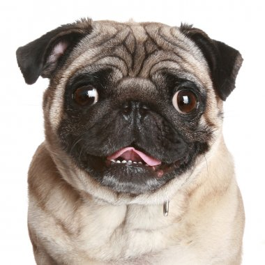 Pug portrait on a white background