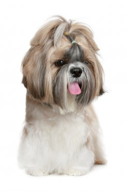 Shih tzu dog portrait on white