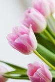 růžové květiny tulipány