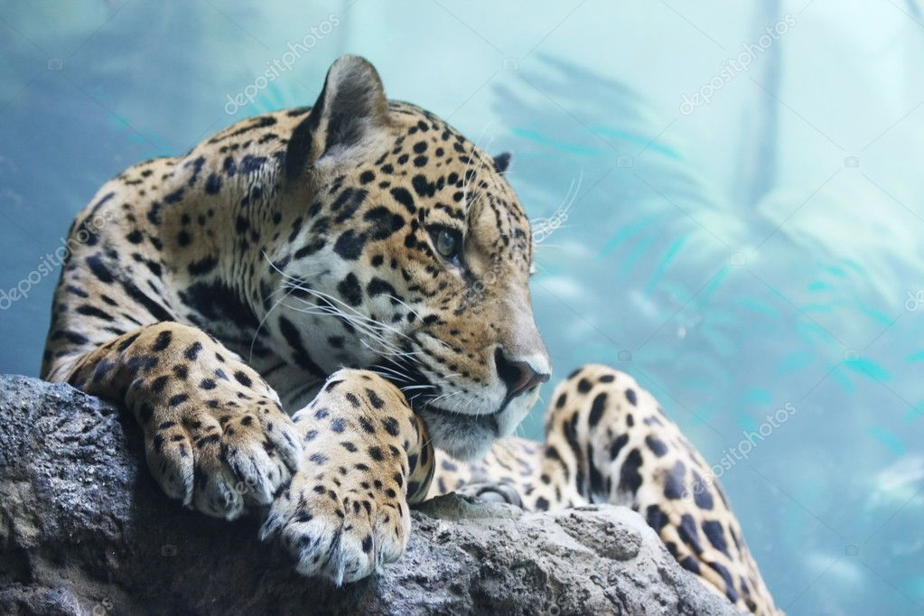 A jaguar is in the Moscow zoo